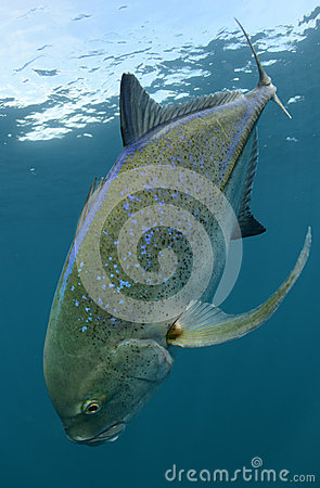 Bluefin trevally fish swimming and its natural habitat