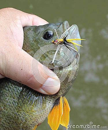 Bluegill caught on popper