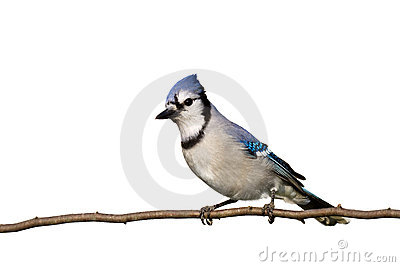 Bluejay sitting on brach with head slightly cocked