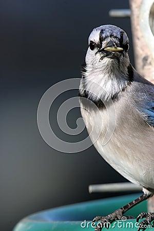 Bluejay with Sunflower in Beak