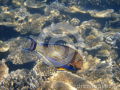 Bluelined surgeonfish, Maldives