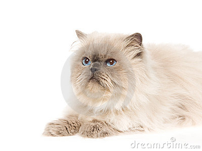 Bluepoint Himalayan cat portrait