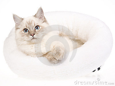 Bluepoint tabby Ragdoll in white fur bed