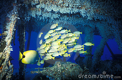 Bluestripe Snapper School