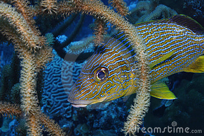 Bluestriped Grunt (Haemulon sciurus)