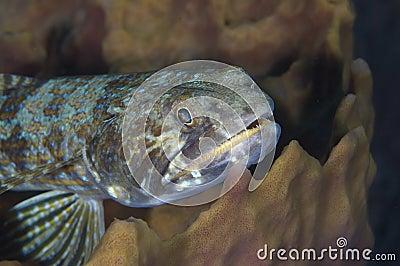 Bluestriped Lizardfish