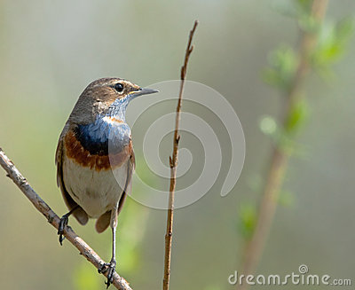 Bluethroat on branch