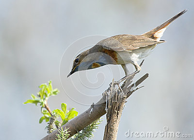 Bluethroat on dry branch