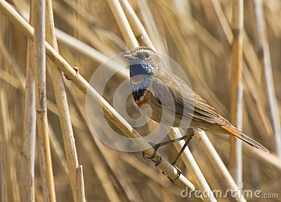 Bluethroat on dry reed