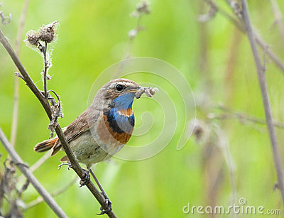 Bluethroat with prey