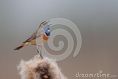 Bluethroat singing