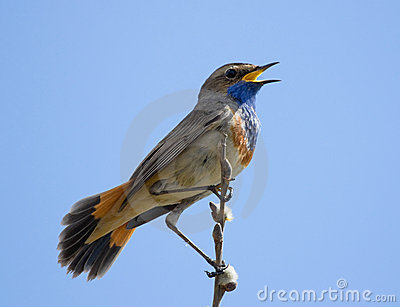 Bluethroat sitting on top of a branch and singing