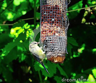 Bluetit feeding on peanuts.