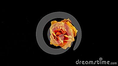 Blume, die auf schwarzem Hintergrund blüht