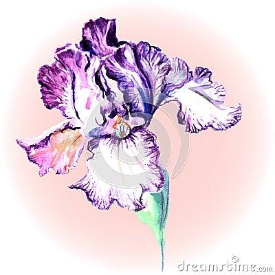 blume von iris auf einem rosa hintergrund vektor abbildung bild 41051176. Black Bedroom Furniture Sets. Home Design Ideas