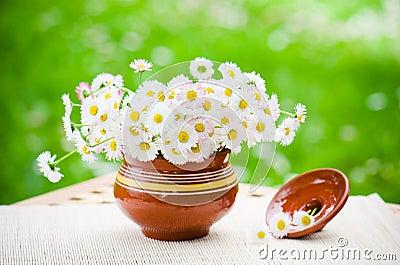 Blumenstrauß von empfindlichen Gänseblümchen im Topf am Tisch
