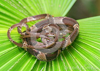 Blunt-headed Tree Snake, Imantodes cenchoa