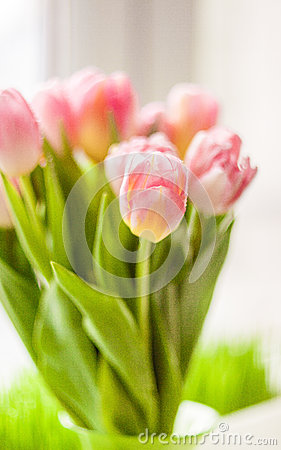Blurred shot of beautiful pink tulip on windowsill