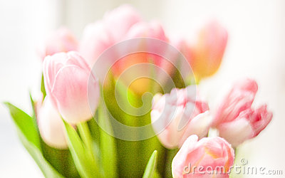 Blurred shot of fresh pink tulips