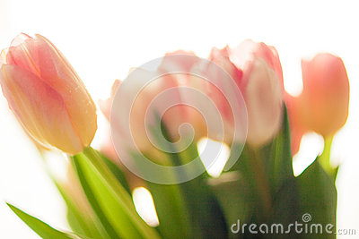 Blurred shot of pretty pink and red tulips