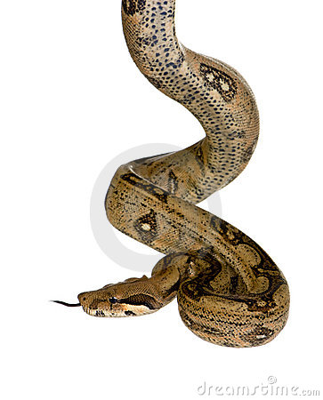 Free Boa Constrictor Royalty Free Stock Images - 3686399