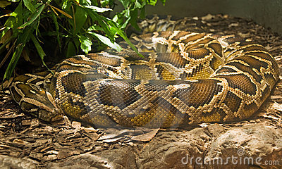 Boa constrictor coiled in terrarium