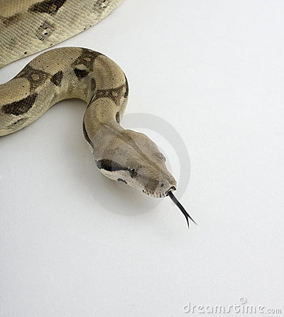 Free Boa Constrictor With Tongue Extended Stock Photos - 6281513
