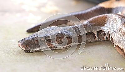 Boa snake, python