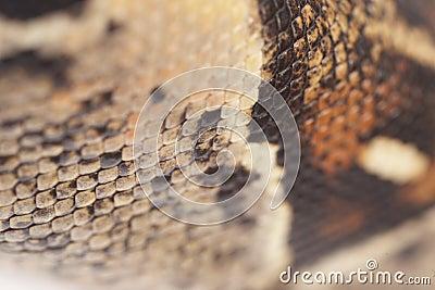 Boa Snakeskin