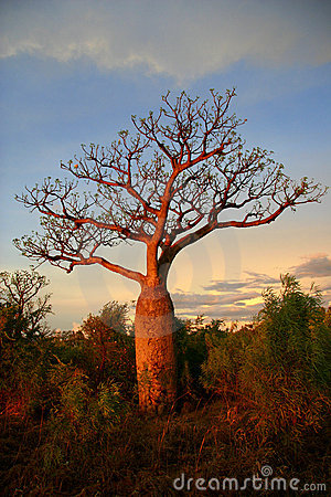 Boab tree, Kimberly, Australia