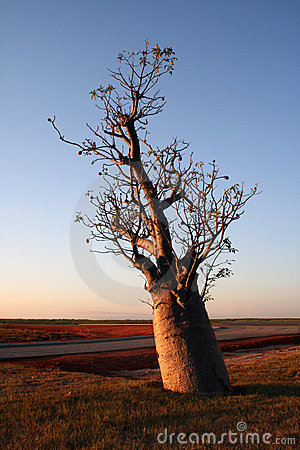 Boab Tree at Sunset