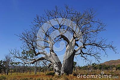 Boab Tree Western Australia