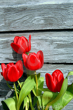 Free Boards Brighten By Red Tulips Stock Photos - 4317583