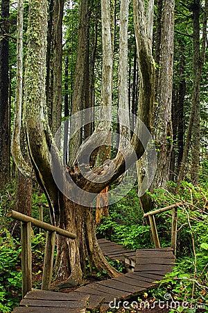 Free Boardwalk And Rainforest At Cape Flattery, Washington Stock Photography - 83977112