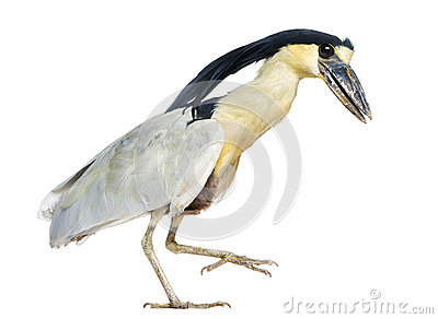 Boat-billed Heron; Boatbill - Cochlearius cochlearius