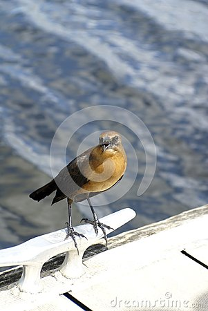 Free Boat-tailed Grackle In Everglades National Park, Florida, USA Royalty Free Stock Images - 107099359