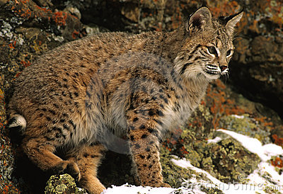 Bobcat βράχοι