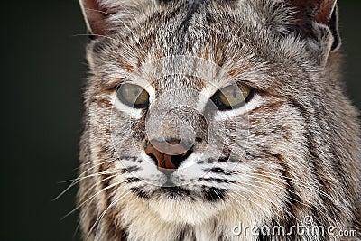 Bobcat καταδιώκοντας