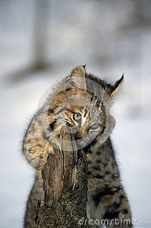 Bobcat νεολαίες