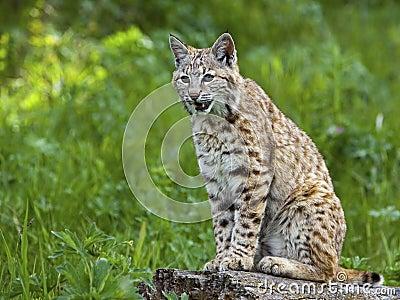 Bobcat σε ανάπαυση