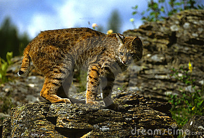 Bobcat βράχος