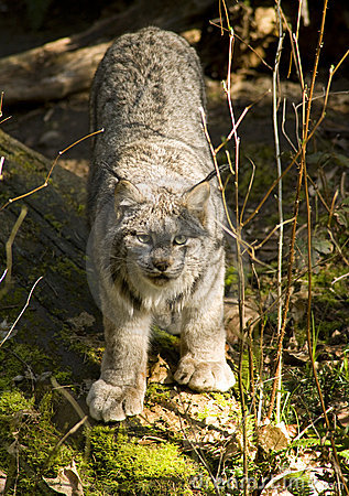 Bobcat Lynx Wildlife Lumbering Around the Ground