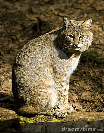 Bobcat χαλαρώνοντας