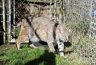 Bobcat in captivity