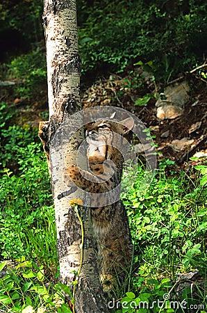 Bobcat Climbing an Aspen