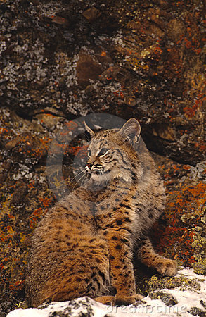 Bobcat and Colorful Rocks