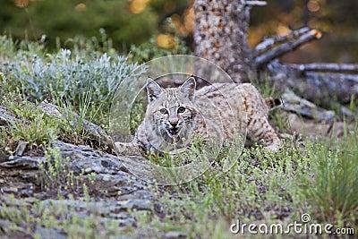 Bobcat crouching