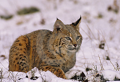 Bobcat in de Winter
