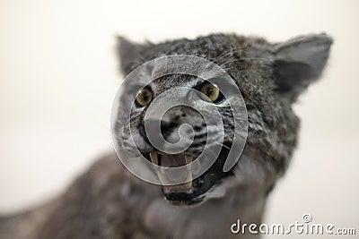 Bobcat die (rufus van de Lynx) snauwt