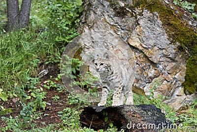 Bobcat die zich op een Logboek bevindt